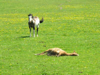 Tan horse lying in field with dandelions and grass